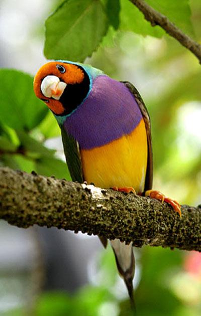 นกฟินช์..สัตว์ปีกสีสันสวยงาม ธรรมชาติสร้างเหนือคำบรรยาย