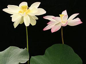 สายพันธุ์ใหม่ของโลกบัวจันทร์โกเมนมี3สีในหนึ่งดอก