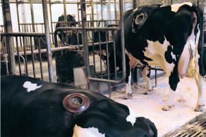 การเจาะหน้าท้องวัวเพื่อนำเอาอาหารในกระเพาะออกมาวิจัยของมหาวิทยาลัยออฮุส